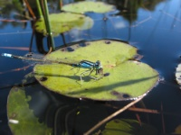 Dragon fly on water lily